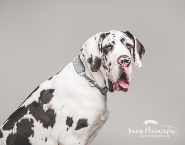 great-dane-puppy-dog-photography