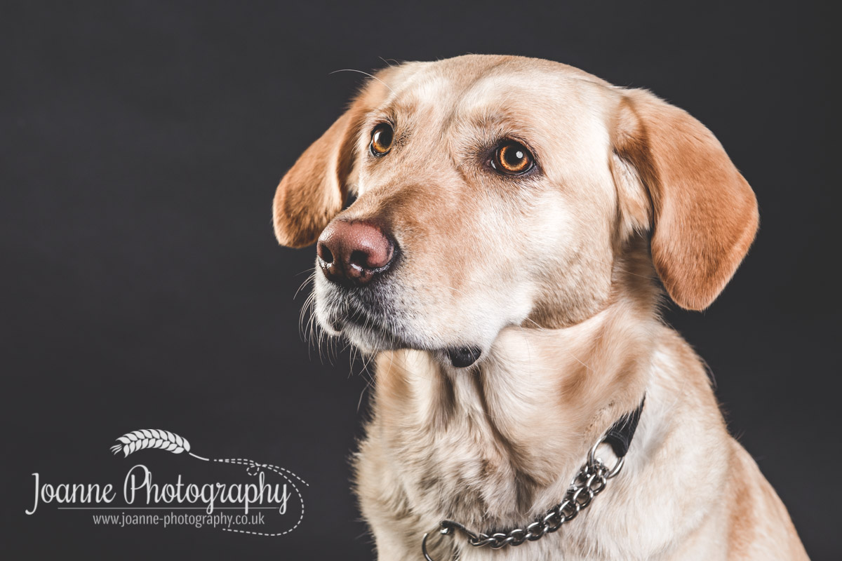 labrador guide dog photography
