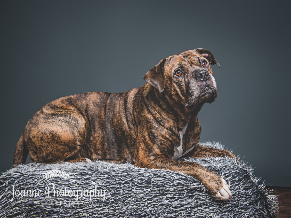 mastiff-cross-studio-photography-cheshire
