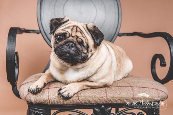 one-eye-pug