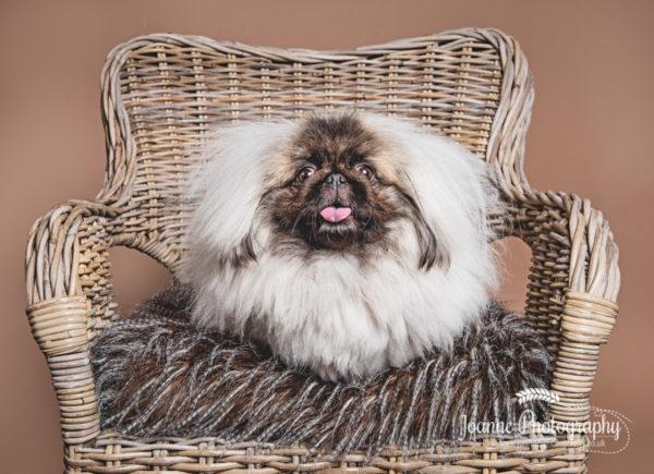 pekingese-dog