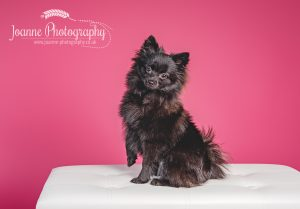 Pomeranian studio photography