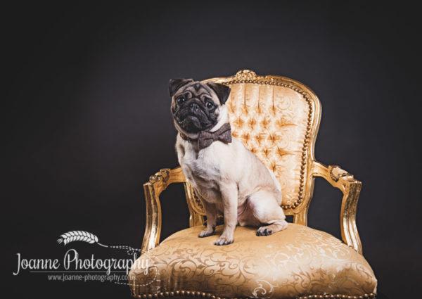 pug photographer