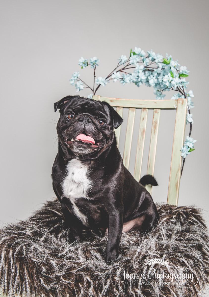 pug-photography