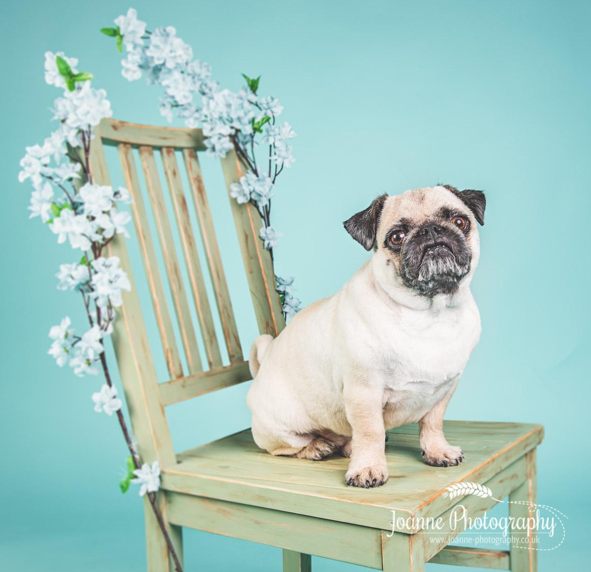 pug-sitting-dog-photographer