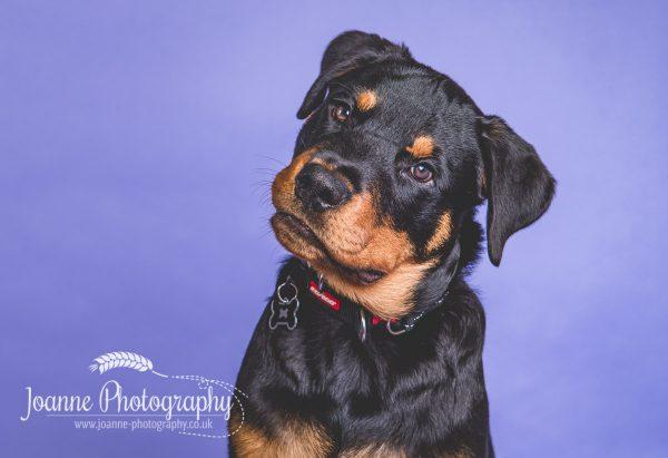rotweiler-puppy-dog-photographer-cheshire
