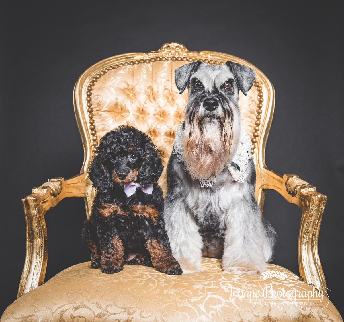 schnauzer-and-puppy-poodle