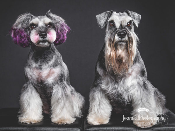 schnauzer-asian-grooming-style