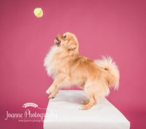 small dog photographer cheshire