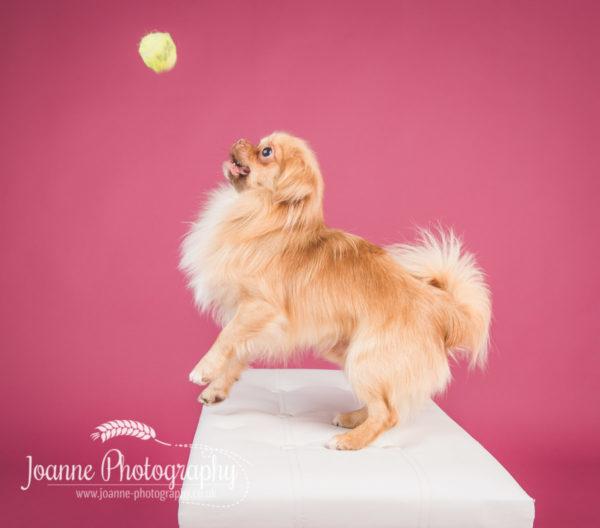 small dog photographer cheshire