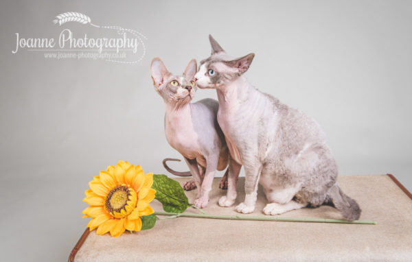 sphinx cats photography