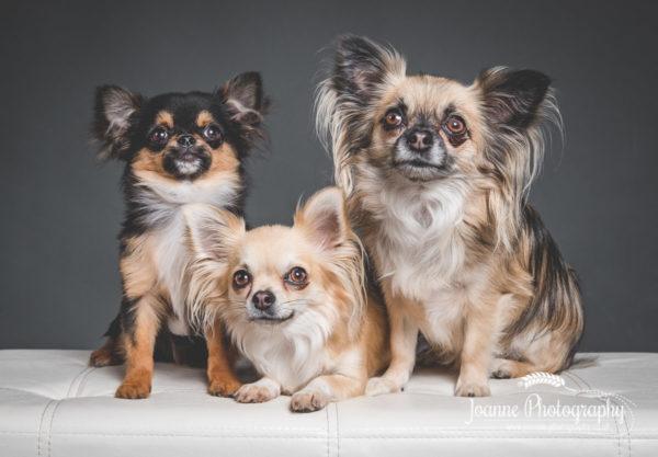 three-chihuahuas