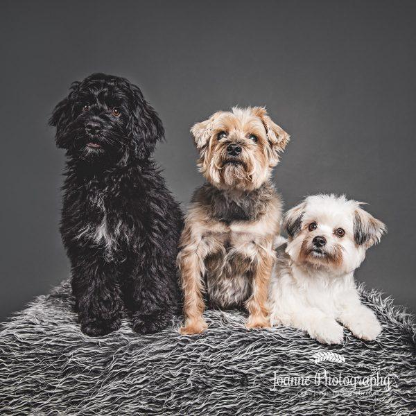 three-dogs-pet-photography
