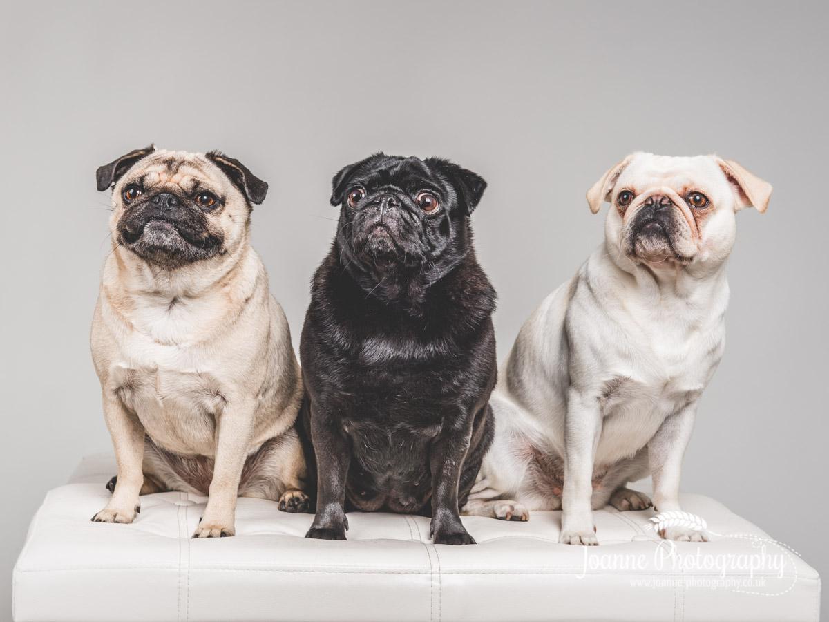 three-pugs-dog-photography-Manchester