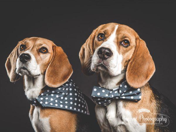 two-beagle-pet-photographer