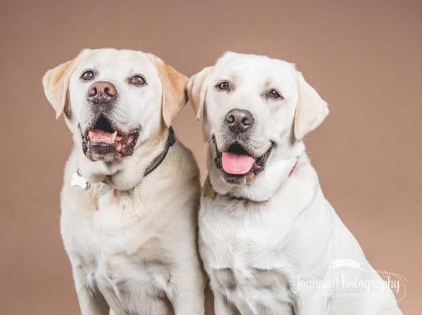 two-happy-labradors